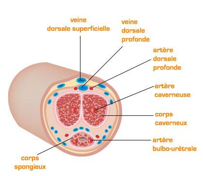 Artères du pénis