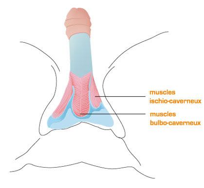 Muscles du périnée
