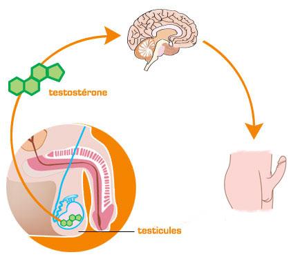 Rôle des hormones dans l'érection