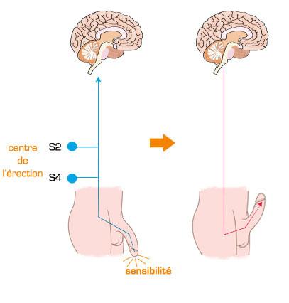 Centre de l'érection, système nerveux