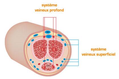 Système veineux du pénis
